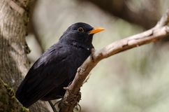 Blackbird. Turdus merula cabrerae. Male. The Nublo Rural Park. Tejeda. Gran Canaria. Canary Islands. Spain Royalty Free Stock Image