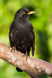 Blackbird (Turdus merula) Royalty Free Stock Image