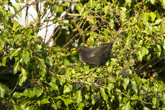 Blackbird Turdus merula feeding in ivy Stock Images