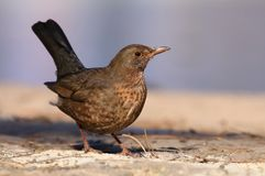 Blackbird Turdus merula female Stock Image