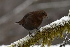 Blackbird Turdus merula female, sitting on a snow cover branch. With green moss. In Sweden during winter royalty free stock images