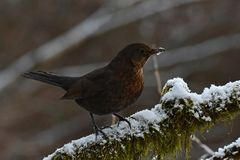Blackbird Turdus merula female, sitting on a snow cover branch. With green moss. In Sweden during winter stock images