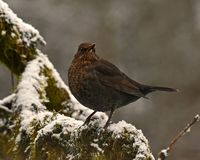 Blackbird Turdus merula female, sitting on a snow cover branch. With green moss. In Sweden during winter stock image