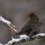 Blackbird Turdus merula female Royalty Free Stock Image