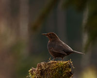 Blackbird Turdus merula female on stump Stock Image