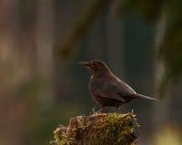 Blackbird Turdus merula female on stump Stock Image