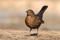 Blackbird Turdus merula female Royalty Free Stock Photos