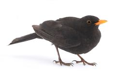 Blackbird Royalty Free Stock Images