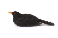 Blackbird Stock Images