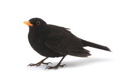 Blackbird. Turdus merula - blackbird isolated on white background royalty free stock image
