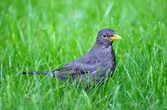 Blackbird Turdus merula. Is looking for food in grass Stock Images