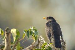 Blackbird (Turdus merula) looking into the sun Stock Photos