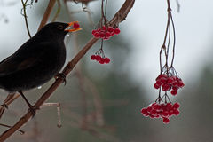 Blackbird Turdus merula male Stock Photography
