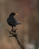Blackbird Turdus merula male Royalty Free Stock Photography