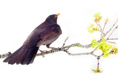 Blackbird (Turdus merula, male) on white background. Blackbird (Turdus merula, male) is one of best world singer. Le ballet de la Merlaison. Mysterious bird of Stock Photography