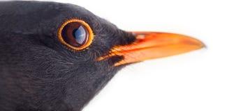 Blackbird (Turdus merula, male). Portrait close-up on white background. Blackbird (Turdus merula, male) is one of best world singer. Le ballet de la Merlaison Royalty Free Stock Images