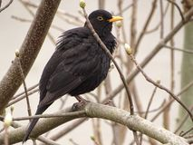 The blackbird Turdus merula - male. In the photo is the blackbird Turdus merula - male. Photography was done in the early spring Royalty Free Stock Image