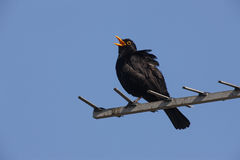 Blackbird, Turdus merula. Male singing on aerial Stock Images