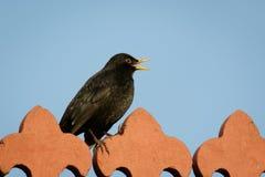 Blackbird (Turdus merula). Male Blackbird (Turdus merula) singing from a rooftop Royalty Free Stock Photos