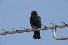 Blackbird, Turdus merula. Male singing Scotland Stock Photos
