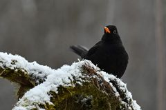 Blackbird Turdus merula male, sitting on a snow cover branch. With green moss. In Sweden during winter royalty free stock photo