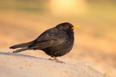 Blackbird Turdus merula male. In winter Stock Photos