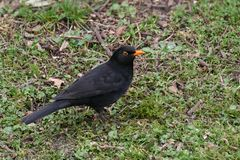 Blackbird / Turdus merula portrait, hunting for insects and worms stock photography