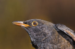 Blackbird - Turdus merula Stock Images