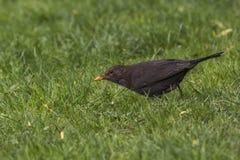 Blackbird (Turdus merula) Stock Images