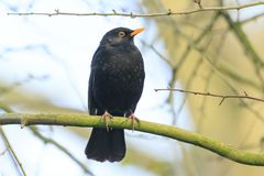 Blackbird turdus merula singing in a tree. A male european Blackbird turdus merula singing in a tree with on a clear, sunny day in Spring season Royalty Free Stock Photography