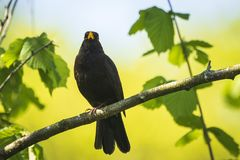 Blackbird turdus merula singing in a tree. A male european Blackbird turdus merula singing in a tree with on a clear, sunny day in Spring season Royalty Free Stock Photos