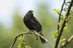 Blackbird (turdus merula) singing in a tree. A male european Blackbird (turdus merula) singing in a tree with on a clear, sunny day in Spring season Stock Images