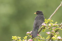 Blackbird turdus merula singing in a tree. A male european Blackbird turdus merula singing in a tree with on a clear, sunny day in Spring season Stock Images