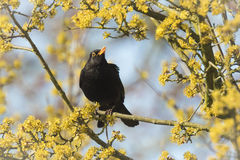 Blackbird (turdus merula) singing in a tree. A male european Blackbird (turdus merula) singing in a tree with yellow blossom on a clear, sunny day in Spring Royalty Free Stock Photos