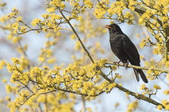 Blackbird (turdus merula) singing in a tree. A male european Blackbird (turdus merula) singing in a tree with yellow blossom on a clear, sunny day in Spring Stock Images