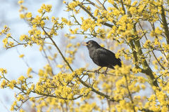 Blackbird (turdus merula) singing in a tree. A male european Blackbird (turdus merula) singing in a tree with yellow blossom on a clear, sunny day in Spring Stock Photography