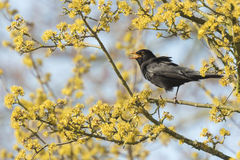 Blackbird (turdus merula) singing in a tree Royalty Free Stock Images