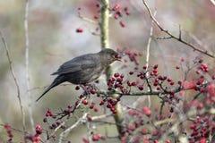 Blackbird, Turdus merula Stock Photo