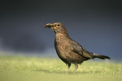 Blackbird, Turdus merula Stock Photos