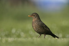 Blackbird, Turdus merula Stock Photography