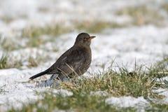 Blackbird, Turdus merula Royalty Free Stock Photography