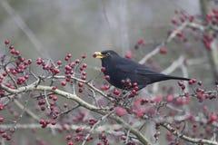Blackbird, Turdus merula Stock Photography