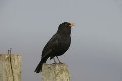 Blackbird, Turdus merula. Single male singing on fence post, Hebrides, Scotland Stock Image