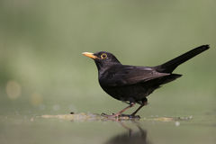 Blackbird, Turdus merula, Stock Images