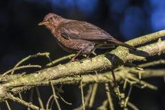 Blackbird Turdus merula Royalty Free Stock Photos