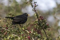 Blackbird Turdus merula Royalty Free Stock Photo