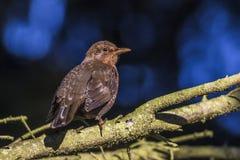 Blackbird Turdus merula Stock Photo
