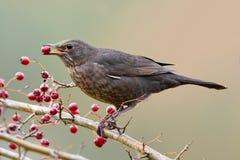 Blackbird (Turdus merula). Blackbird sitting on a branch with a red berrie in its beak royalty free stock photos