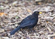 Blackbird (Turdus Merula) Stock Image