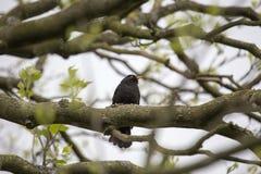 Blackbird Turdus merula. Spotted outdoors in Blessington Basin, Dublin Stock Images